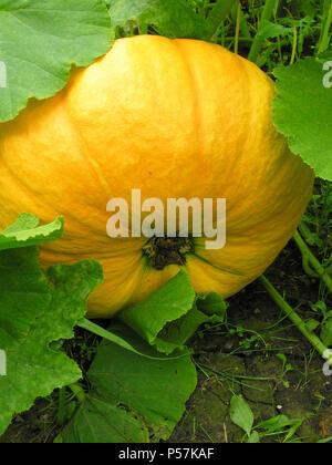 Big orange pumpkins growing in the garden. Pumpkin hid in green leaves. - Stock Photo