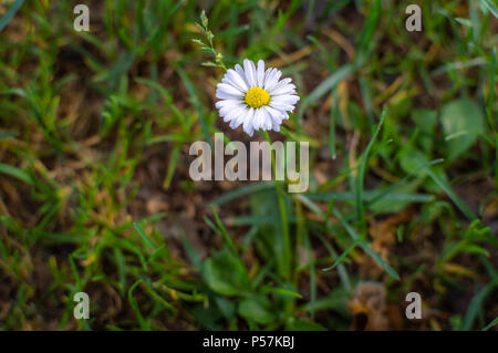 A white wildflower growing on grass - Stock Photo