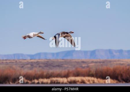 Snow Geese, Chen caerulescens, at Bosque del Apache National Wildlife Refuge. At Bosque, tens of thousands of birds--including sandhill cranes, Arctic - Stock Photo