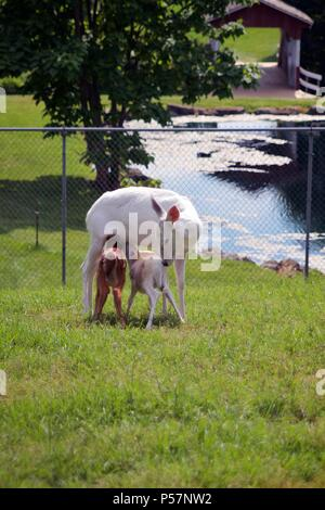 Lititz, PA, USA - June 24, 2018: A leucistic white-tail doe suckles two fawns at a petting zoo in Lancaster County, PA. - Stock Photo