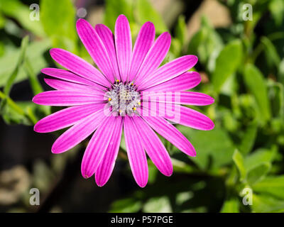 Single flower of the sun loving perennial cape daisy, Osteospermum 'Tresco Purple' - Stock Photo