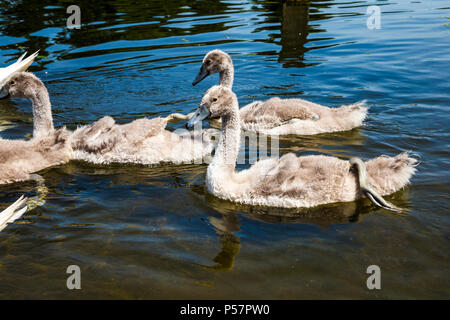 A group of young swans swimming in a pond, Hyde Park, London, UK - Stock Photo