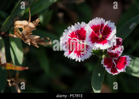 Red and white Dianthus barbatus flowers in dappled sunlight. Oklahoma, USA. - Stock Photo