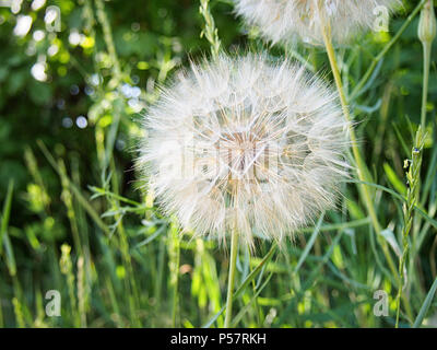 Dandelion flower with seeds ball close up - Stock Photo