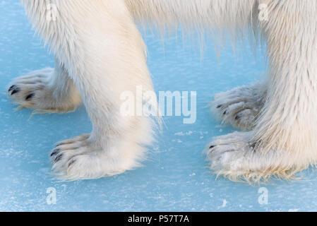 Close up of Polar Bears paws - Stock Photo
