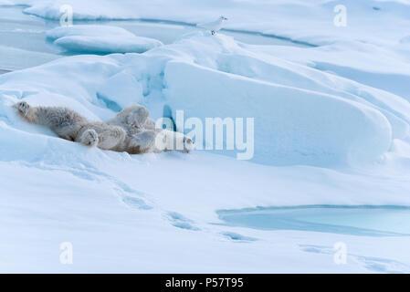 Playful Polar Bear - Stock Photo