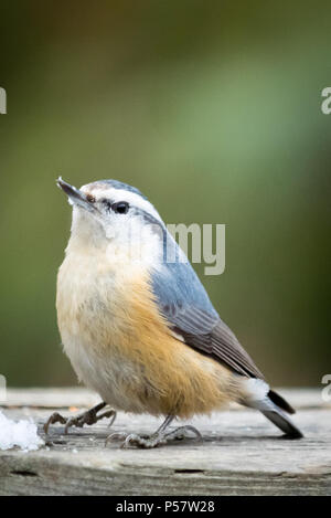 A female red-breasted nuthatch (Sitta canadensis) perched on a fence in winter. Whitemud Nature Reserve, Edmonton, Alberta, Canada. - Stock Photo