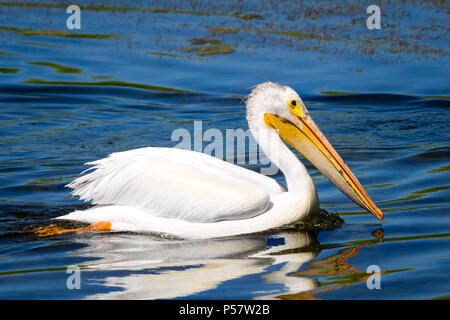 A non-breeding adult American White Pelican (Pelecanus erythrorhynchos) swims on a pond in Beaumont, Alberta, Canada. - Stock Photo