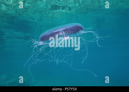 A many-ribbed jellyfish Aequorea forskalea underwater in the Mediterranean sea, Cote d'Azur, France - Stock Photo