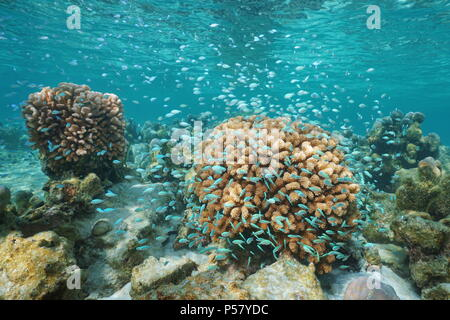 Corals and a shoal of small blue fish underwater ( blue-green chromis damselfish and cauliflower coral), Pacific ocean, Polynesia, Cook islands - Stock Photo