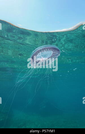 A many-ribbed jellyfish Aequorea forskalea underwater below the water surface in the Mediterranean sea, Cote d'Azur, France - Stock Photo