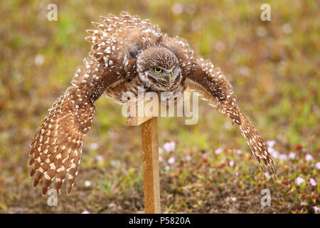 Burrowing Owl (Athene cunicularia) spreading wings in the rain - Stock Photo