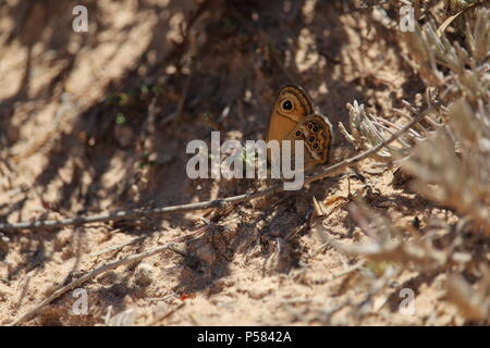 Lone Dusky Heath butterfly ( Coenonympha dorus) resting on a Spanish hillside, Summer 2018. - Stock Photo