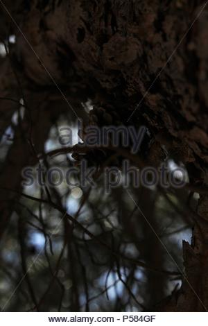 Wild landscapes - upward angular portrait shot  an Aleppo pine tree (Pinus halepensis) at La Mata National Park & Nature Reserve, Spain. Summer 2018. - Stock Photo