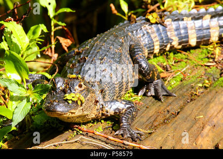 Alligator (Alligator mississippiensis) resting on a log - Stock Photo