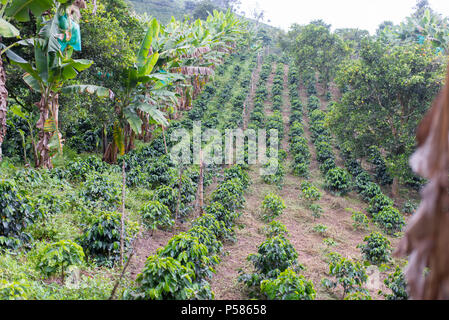 Rows of coffee on a coffee plantation in Colombia - Stock Photo