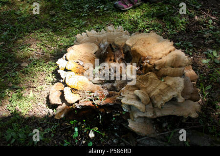 Giant Polypore fungus growing on tree stump - Stock Photo