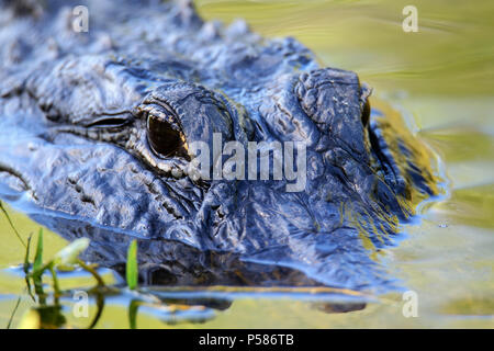 Portrait of Alligator (Alligator mississippiensis) floating in water - Stock Photo