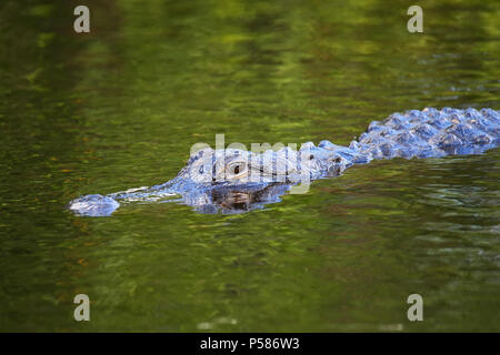 Alligator (Alligator mississippiensis) swimming, Florida