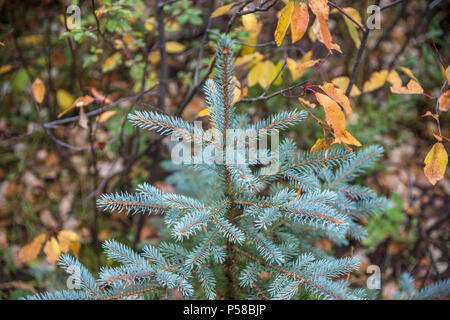 Young spruce tree growing in fall foliage in the San Juan Mountains of Colorado - Stock Photo