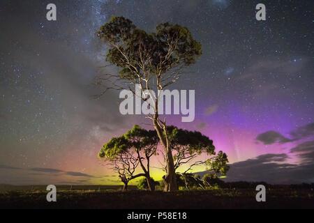 Colourful blue Aurora behind gum tree - Stock Photo