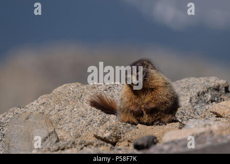 This young marmot plopped itself down alongside the road to the summit of Mt. Evans - Stock Photo