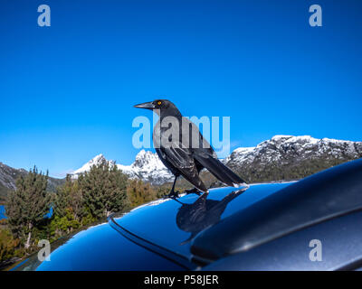 The Black Currawong bird, also known locally as the black jay, standing on top of a car near Dove Lake, with view of Cradle Mountain in distance. - Stock Photo