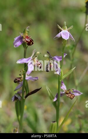 Mythical Wild Horses (Bee Orchids) - Stock Photo