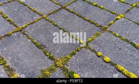 Yellow moss grows in crevices between rectangular gray concrete slabs - Stock Photo