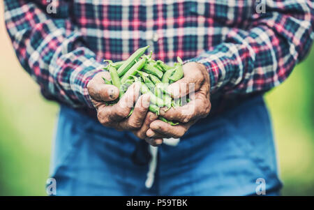 Senior farmer holding in her hans fresh peas. - Stock Photo