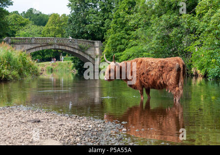 Glasgow, Scotland, UK. 26th June, 2018. UK Weather: A highland cow cools off in the White Cart Water on a sunny afternoon in Pollok Country Park. The UK is currently having a mini heatwave with temperatures hitting 29º or 30º Celsius. Credit: Skully/Alamy Live News - Stock Photo