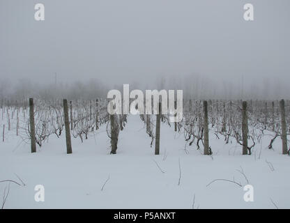 rows of grapevines covered in snow with fog - Stock Photo