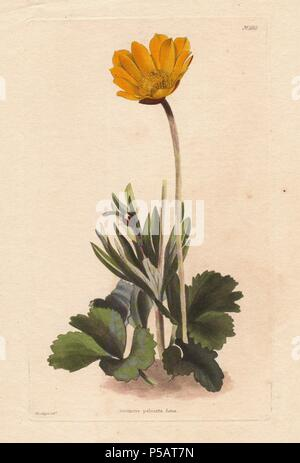 Anemone palmata. West mediterranean anemone with yellow flowers. A native of Portugal, Spain, Provence and Barbary.. . Illustration by George Loddiges.. Conrad Loddiges and Sons published an illustrated catalogue of the nursery's plants entitled the Botanical Cabinet. The monthly magazine featured 10 hand-coloured illustrations and ran from 1817 to 1833 to total 2,000 plates. The publication introduced many exquisite camellias from China, exotic orchids and lilies from the New World, and about 100 varieties of heaths from South Africa, which were currently in vogue. (The Victorian era saw a se - Stock Photo