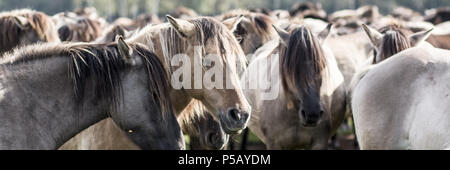 Wild horses of Dülmen - Stock Photo