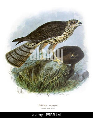"""N/A. English: Title """"Circus gouldi (Adult and Young)"""". Juvenile (right) and adult Swamp Harrier (Circus approximans gouldi), subspecies of New Zealand. Originally published in: Walter Lawry Buller: Birds of New Zealand, 1873. Deutsch: Titel: """"Circus gouldi (Adult and Young)"""". Juvenile (rechts) und adulte Sumpfweihe (Circus approximans gouldi), neuseeländische Unterart. Ursprünglich aus: Walter Lawry Buller: Birds of New Zealand, 1873. 1873.   John Gerrard Keulemans (1842–1912)   Alternative names Johannes Gerardus Keulemans; J. G. Keulemans  Description Dutch ornithologist and artist  Date - Stock Photo"""