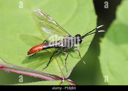 Sawfly Tenthredo livida - Stock Photo