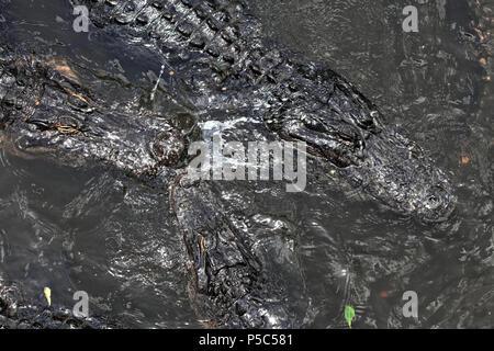Close up shot of alligators floating on water - Stock Photo