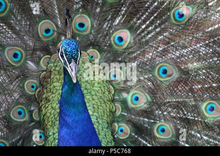 Male Peacock in full show on a lovely Summer's evening in the Peak District - Stock Photo