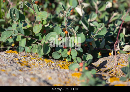Cotoneaster horizontalis plant with ripe red berries - Stock Photo