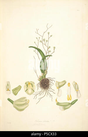 N/A. Illustration from John Lindley's 'Collectanea botanica or, figures and botanical illustrations of rare and curious exotic plants' Trizeuxis Falcata . 15 June 2012, 18:26:32.   John Lindley (1799–1865)   Alternative names Lindl.  Description botanist, pteridologist, bryologist, university teacher, writer and mycologist  Date of birth/death 8 February 1799 1 November 1865  Location of birth/death Catton, near Category:Norwich Turnham Green, Middlesex  Authority control  : Q378629 VIAF:44413344 ISNI:0000 0000 8377 7990 LCCN:n84018057 NLA:35306726 Botanist:Lindl. WorldCat 33 2 Trizeuxis f