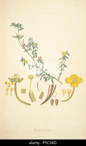 N/A. Illustration from John Lindley's 'Collectanea botanica or, figures and botanical illustrations of rare and curious exotic plants' . 15 June 2012, 18:30:06.   John Lindley (1799–1865)   Alternative names Lindl.  Description botanist, pteridologist, bryologist, university teacher, writer and mycologist  Date of birth/death 8 February 1799 1 November 1865  Location of birth/death Catton, near Category:Norwich Turnham Green, Middlesex  Authority control  : Q378629 VIAF:44413344 ISNI:0000 0000 8377 7990 LCCN:n84018057 NLA:35306726 Botanist:Lindl. WorldCat 13 10 Oenothera dentata - John Lin