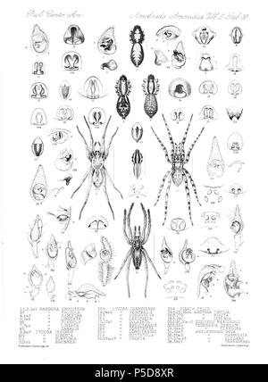 N/A. English: Zoological illustrations of spiders made by Frederick O. Picard-Cambridge for the Biologia Centrali-Americana, an encyclopedia of the natural history of Mexico and Central America . between 1897 and 1905. Frederick Octavius Pickard-Cambridge 116 Arachnida Araneidea Vol 2 Table 31 - Stock Photo