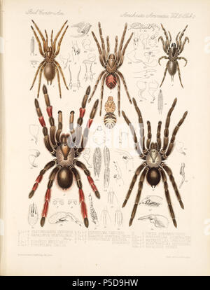 N/A. English: Zoological illustrations of spiders made by Frederick O. Picard-Cambridge for the Biologia Centrali-Americana, an encyclopedia of the natural history of Mexico and Central America . between 1897 and 1905. Frederick Octavius Pickard-Cambridge 116 Arachnida Araneidea Vol 2 Table 2 - Stock Photo