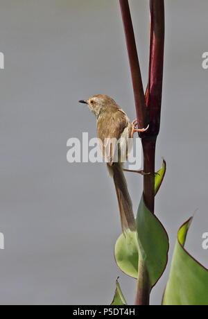 Plain Prinia (Prinia inornata flavirostris) adult clinging to stem  Yehliu Peninsula, Taiwan                 April - Stock Photo