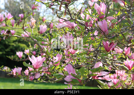 Close up of gorgeous Mulan Magnolia blossom - Stock Photo