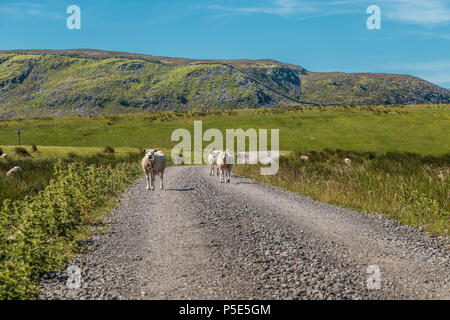 North Pennines AONB landscape, a group of sheep walk towards the camera with Cronkley Scar on the background - Stock Photo