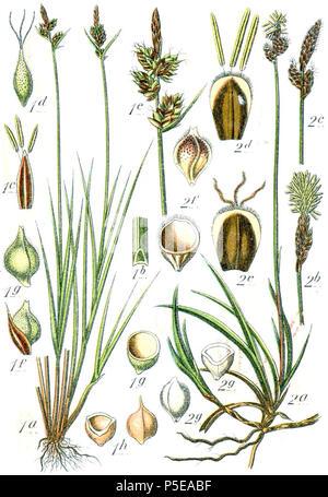 Carex pilulifera et Carex ericetorum  Aus: J. Sturm's Flora von Deutschland 271 Carex spp Sturm49 - Stock Photo