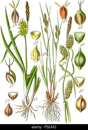 Carex oederi et Carex extensa  Aus: J. Sturm's Flora von Deutschland 271 Carex spp Sturm54 - Stock Photo