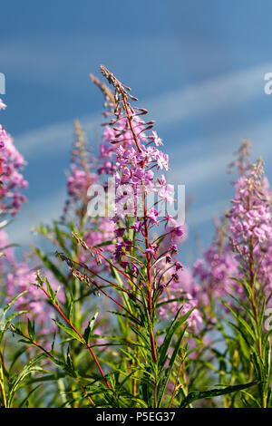 Flowering plant called willow-herb. From it they make a traditional Russian drink: Ivan-tea - Stock Photo
