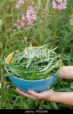 Full bowl of collected leaves of Ivan-tea in his hands, close-up - Stock Photo